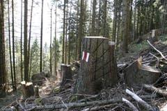 Hier wurde die Markierung an einem Baum vorgenommen. Vor kurzem wurde dieser Baum gefällt, die Förster haben dabei Rücksicht auf die Markierung genommen. (Bild: Jolanda Riedener)