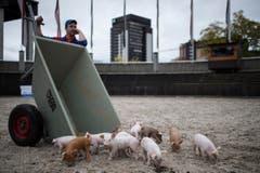Bald müssen die kleinen Schweinchen das Feld für ihre ausgewachsenen Artgenossen räumen. (Bild: Luca Linder)