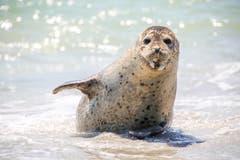 Auch ihr war es pudelwohl: eine Kegelrobbe am Strand von Helgoland. (Bild: Fotolia)