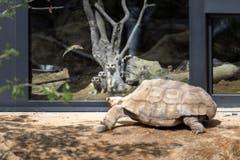 Scharf beobachtet: Die Erdmännchen verfolgen jeden Schritt der riesigen Spornschildkröte. (Bild: Michel Canonica)