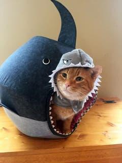 Chuck verkleidet sich gern - diesmal als Hai. Hier befindet er sich in sein Schlafplätzchen: Einem weissen Hai. (Bild: Keystone)