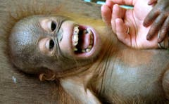 Auch dieser Baby-Orang Utan lächelt. (Bild: Keystone)