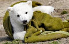 Knut war auch ein Symbol. Er stand stellvertretend für seine bedrohte Art in Zeiten des Klimawandels. (Bild: Keystone)