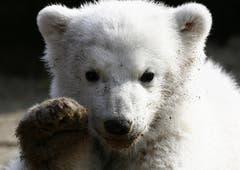 Im Sturm eroberte Knut die Herzen des Publikums. (Bild: Keystone)