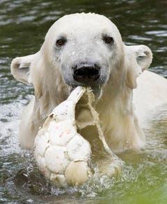 Knut spielt im Mai 2009 mit einem alten Fussball. (Bild: Keystone)