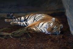 Julinka beobachtet aufmerksam ihre neue Umgebung im Walter-Zoo. (Bild: pd)