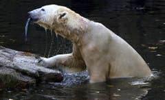 Die letzten Monate seines Lebens verbrachte Knut alleine. Von den drei älteren Eisbärendamen in seinem Gehege wurde er verstossen. (Bild: Keystone)