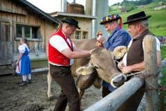 Der Kuh wird eine Glocke umgehängt. (Bild: Urs Bucher)