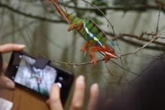 Shootingstar Pantherchamäleon: Die farbenprächtige Echse war das häufigste Sujet für Smartphone-Fotografen. (Bild: Corinne Allenspach)