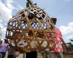 Das gehört zur Thailändischen Regen-Zeremonie - es werden Lieder gesungen und die Katze mit Wasser bespritzt. (Bild: Keystone)
