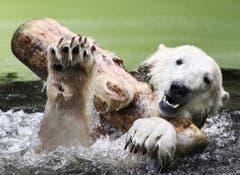 Gross war die Freude, als Knut im September 2009 eine Freundin bekam. Eisbärin Gianna ist von München nach Berlin umgezogen. (Bild: Keystone)