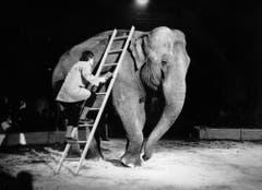Eine Aufnahme aus dem Jahr 1970: Clown Dimitri erklimmt mit Hilfe einer Leiter einen Elefanten. (Bild: Keystone)