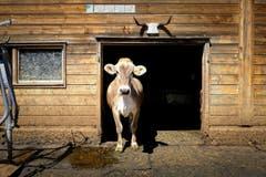 Eine hornlose Kuh schaut aus dem Stall. (22. April 2017) (Bild: Urs Bucher)