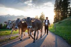 Die Kühe werden auf die Alp Hoor gebracht. (Bild: Urs Bucher)
