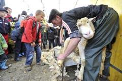 Kinder können an der Olma beim Scheren von Schafen dabei sein. (Bild: Hanspeter Schiess)
