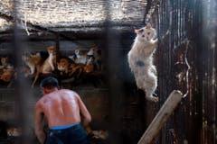 Das schockiert: Hier (China) werden Katzen gehalten - und später geschlachtet. (Bild: Keystone)