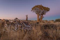 Köcherbaum im Gondwana Canyon Park. (Bild: Cyrill Schlauri)
