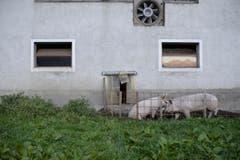 Schweine vor einem Stall. (Bild: KEYSTONE/Gian Ehrenzeller)
