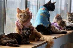 Eingepackt: Diese kranken Kätzchen leiden an Leukemie. Sie leben gemeinsam in Lima, Peru, in einem Katzen-Hospiz. (Bild: Keystone)