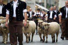 ...und Schafe ziehen durch die Altstadt. (Bild: Urs Jaudas)