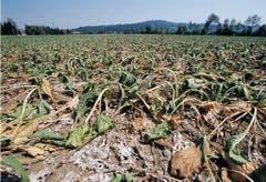 Zuckerrüben verdorren auf einem Feld in Eien im Kanton Aargau. (Bild: Keystone)