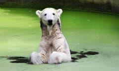 Gianna wurde Knut zur Seite gestellt. (Bild: Keystone)