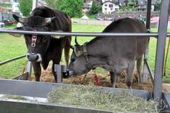 Zwei der drei Lebendpreise am Schweizer kantonalen Schwing und Älplerfest in Steinen. (Bild: Franz Föhn)