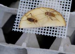 Vorerst sind in der Schweiz drei Insektenarten als Lebensmittel zugelassen. Dies sind Grillen... (Bild: Keystone)