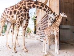 Rapperswil: Knie Kinderzoo Nachzug zu den vier Giraffenbabys (Bild: Jil Lohse)