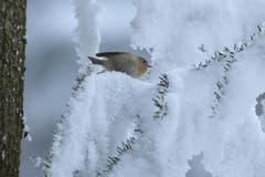 Wintergoldhähnchen (Bild: Aeschlimann)
