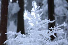 Rauhreif im Wald (Bild: Aeschlimann)
