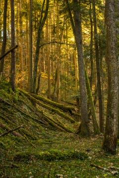 Ein unberührtes Stück Wald am Moosbach in Rehetobel. (Bild: Matthias Rozinek)