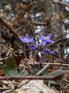 Und langsam kommt er doch, der Frühling, und zeigt seine Boten (Bild: Edgar Huber)