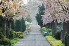 3. April: Frühling auf dem Friedhof Oberkirch in Frauenfeld. (Bild: Donato Caspari)