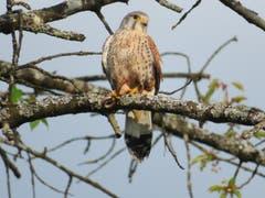 Ein Falke verspeist eine Blindschleiche zum Frühstück (Bild: Arnold Zanoni)
