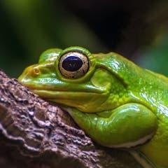 Frosch im Gossauer Walter Zoo (Bild: Wolfgang Reisser)