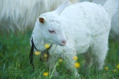 Zicklein auf einer Weide bei Trogen (Bild: Hans Aeschlimann)