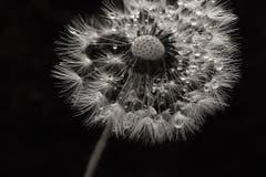 Pusteblume mit Wassertropfen (Bild: Laura Bley)
