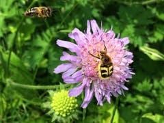 Schon besetzt! Honigbiene und Pinselkäfer in Montlingen (Bild: Toni Sieber)