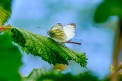 Weisser Schmetterling und Libelle im Heinrichsbad, Herisau (Luciano Pau)