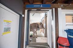 Für einmal hatte die Luftseilbahn Emmetten-Niederbauen ganz spezielle Fahrgäste: Kühe wurden in einer speziellen Transportkiste auf die Alp gebracht. Bild: Urs Flüeler/Keystone (Emmetten, 18. Mai 2018)