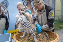Die Tigerbabys bei ihrem ersten Besuch beim Tierarzt. (Bild: Michel Canonica)