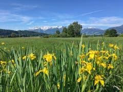 Irisfeld in voller Blüte bei Ruggell (Bild: Toni Sieber)