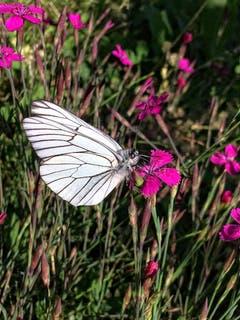 Schmetterling auf einer Blüte in Montlingen. (Bild: Toni Sieber)