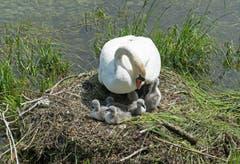Schwanenmutter mit ihren Jungen in Arbon (Bild: Regina Rosin)