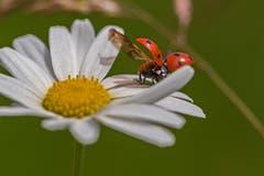 Siebenpunkt Käfer beim Abflug (Bild: Franziska Hörler)