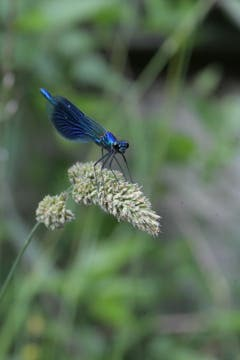 Blau schillernde Libelle in Weinfelden (Bild: Stephan Haag)