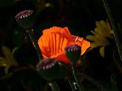 Mohn in einem Garten in Kalthäusern (Bild: Franz Häusler)