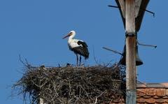 Der Storch brachte dem Storch einen kleinen Storch. Auf Schloss Luxburg in Egnach. (Bild: Walter Schmidt)