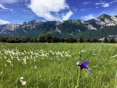 Der Alpstein hinter einem Blütenmeer. (Bild: Toni Sieber)